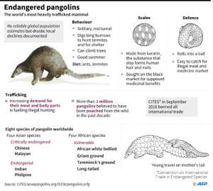 Graphic on pangolins, the world's most heavily trafficked mammals..  By AFP (AFP)
