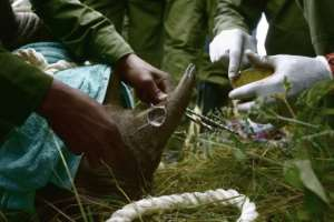 Experts preparing for the translocation fitted a radio transmitter into the rhinos' horns to provide data about their location.  By TONY KARUMBA (AFP)