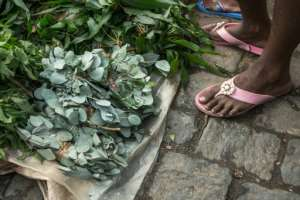 False claims: Hawkers in Madagascar are doing a roaring trade in leaves from the rose gum tree (Eucalyptus grandis), saying a herbal infusion can fend off coronavirus.  By RIJASOLO (AFP)