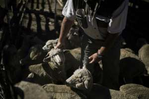 Farmer Steve Bothma separates male and female merino sheep -- the animals are being sold for slaughter because of the drought.  By Guillem Sartorio (AFP)