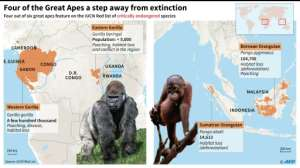 Four of the Great Apes a step away from extinction