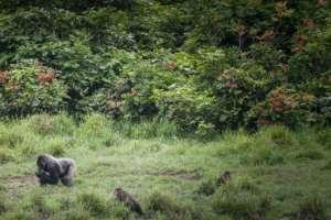 Gorillas in Gabon's Ivondo national park.  By Amaury HAUCHARD (AFP/File)