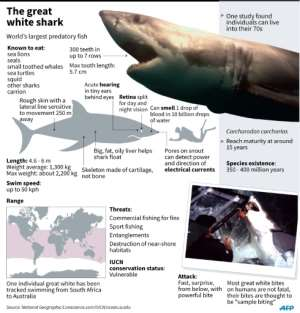 Great whites -- which can grow up to six metres (20 feet) and weigh more than 2,500 kilos (5,500 pounds) -- gather along the coast of South Africa in winter to feed on seals that congregate on rock formations at the water's edge. By Adrian Leung (AFP/File)