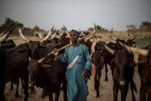 Greener pastures: A Fulani herdsman and his cattle in Bermo, a cool, moist haven on the nomads' trail.  By Marco LONGARI (AFP)