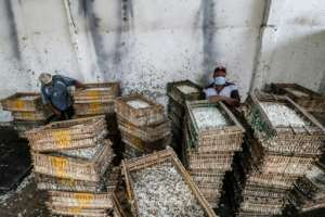 Hand-picked jasmine flowers are packed into crates and taken to a factory for processing -- first pressed into a paste, before the oils are eventually extracted.  By Mohamed el-Shahed (AFP)