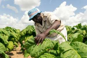 Harvest: Farm manager Shaw Mutalepo inspects tobacco leaves for ripeness.  By Jekesai NJIKIZANA (AFP)