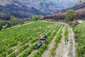 Hemel en Aarde's soil, sunshine and rainfall make it a paradise for winegrowing.  By MARCO LONGARI (AFP)
