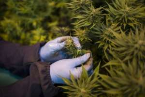 In 2017, Lesotho become the first country in Africa to allow the cultivation of cannabis for medicinal purposes.  By GUILLEM SARTORIO (AFP)