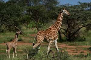In Kenya, Somalia and Ethiopia, reticulated giraffe numbers fell 60 percent in the roughly three decades to 2018.  By TONY KARUMBA (AFP)