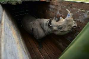 June 26: A female black rhino at Nairobi National Park awaits translocation to Tsavo East.  By TONY KARUMBA (AFP)
