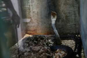 Last month, a dedicated working group set up by the UN's public health organ unveiled a strategy for halving snake bite deaths by 2030. By TONY KARUMBA (AFP)