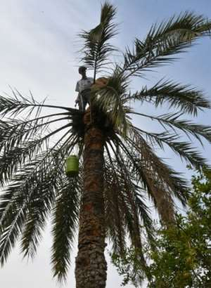 Legmi producers carefully cut the bark to cause a reaction from the palm that makes its sap rise.  By Mourad MJAIED (AFP)