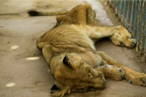 Lions are classified as a 'vulnerable' species by the International Union for Conservation of Nature (IUCN).  By ASHRAF SHAZLY (AFP)