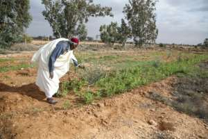 Mahmud Abu al-Habel, 70, tends to his field in Tawergha following his return years after being forced out of the town in what Human Rights Watch called