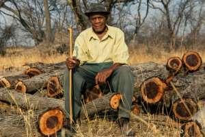 Miller Chizema, an 82-year-old villager, sits on a pile of mopani logs in Mhondoro Ngezi.  By Jekesai NJIKIZANA (AFP)