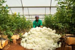Millions of flowers are being dumped in Kenya -- the market for cut blooms in Europe and the Middle East has been wrecked by the pandemic.  By patrick meinhardt (AFP)