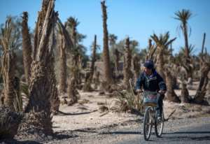 Morocco has lost two-thirds of its 14 million palm trees over the last century as water in some areas like the oases becomes scarce.  By FADEL SENNA (AFP)