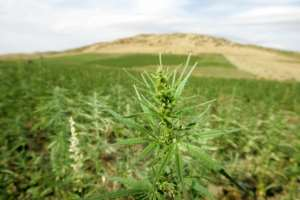 Morocco is the world's biggest producer of hashish.  By ABDELHAK SENNA (AFP/File)