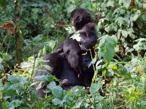 Mountain gorillas are seen in the jungle at Bukima in Virunga National Park, eastern Democratic Republic of Congo