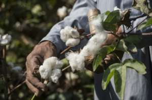 Nearly all of Africa's cotton is exported without having been processed.  By Khaled DESOUKI (AFP/File)