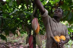 October cocoa harvest time for a farmer in central Ivory Coast.  By ISSOUF SANOGO (AFP/File)