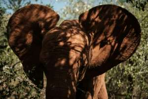 Orphan elephants take a stroll at the David Sheldrick Wildlife Trust (DSWT). Here, they are safe -- but once they return to the wild, they face the risk of poaching. Around 20,000 African elephants are slaughtered each years, says the WWF.. By Yasuyoshi CHIBA (AFP)
