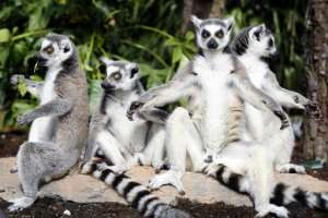 Out of a total of 111 lemur species and subspecies, 105 are under threat, IUCN said.  By BAS CZERWINSKI (ANP/AFP/File)
