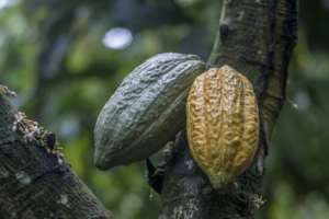 Overall, Ivory Coast produces two million tonnes of cocoa per year, but farmers earn only around $6.0 billion from a global market worth about $100 billion.  By CRISTINA ALDEHUELA (AFP/File)
