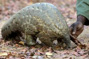 Pangolin scales are widely used in traditional Chinese medicine.  By Jekesai Njikizana (AFP/File)
