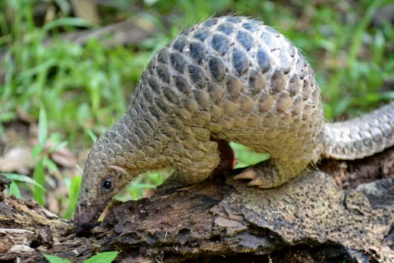 Pangolins are critically endangered and have long been protected, but they are sold in the markets of the capital Libreville and their meat is popular.  By ROSLAN RAHMAN (AFP/File)