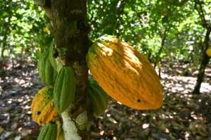 Pod cast: Ivory Coast is the biggest producer of cacao, the raw ingredient for cocoa. But many farmers are impoverished -- beekeeping helps them to top up their income.  By Issouf SANOGO (AFP)