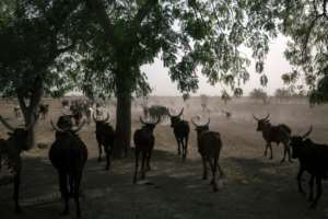 Remote region: Oxen cross the road on the outskirts of Maroua, the capital of the Far North. By ALEXIS HUGUET (AFP/File)