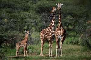 Six African nations are pushing to regulate the international trade in giraffes under the UN Convention on Trade in Endangered Species.  By TONY KARUMBA (AFP)