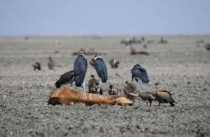 Some grazers succumb to the heat and become fodder for vultures in the sludge of the lake bed.  By MONIRUL BHUIYAN (AFP)