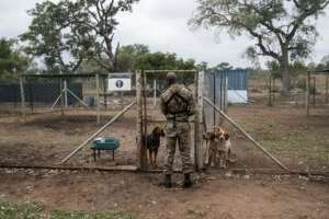The Kruger National Park in South Africa says that its detection technologies, detection dogs and surveillance aircraft have an impact in anti-poaching. From WIKUS THE LAW (AFP)