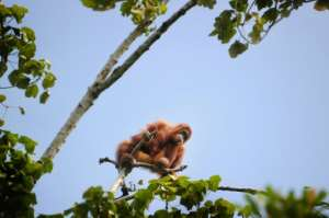 Sumatran Orangutans, like this one picture in Aceh province in May 2016, are critically endangered according to the International Union for Conservation of Nature
