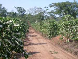A Coffee Plantation In Africa