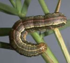 Genetically Modified Organisms Can Eradicate Fall Army Worms—Biotechnologist