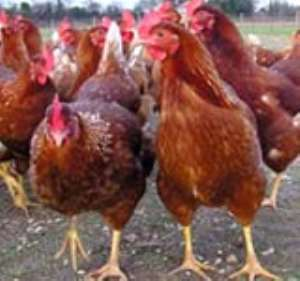 Ghana's Poultry Industry Collapsing--Group Laments