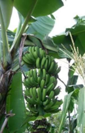 Processing Plantain Into Flour: 23 Farmers Receive Training