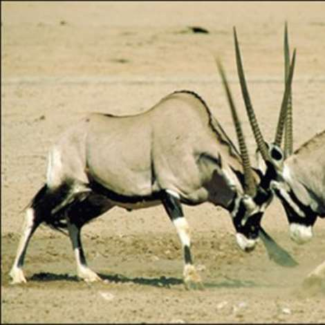 Gemsbok fighting at the Kgalagadi Transfrontier Park, Northern Cape