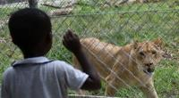 A child looks at a lion, donated by South Africa, in an enclosure at Abidjan Zoo, on March 10, 2015.  By Sia Kambou (AFP/File)