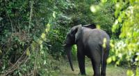 Elephants live in the Mount Peko national park in the Ivory Coast's west, a 34,000 hectare (131 square mile) area threatened by rampant deforestation driven by the country's booming cocoa industry.  By Sia Kambou (AFP/File)