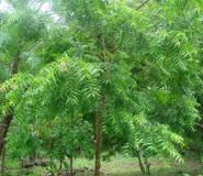 Neem Tree Processing Factories For Cape Coast And Swedru