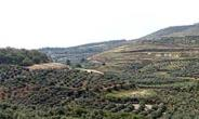 Olive groves in the lower Galilee of Israel.