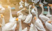 Geese- Incredible Watchdogs