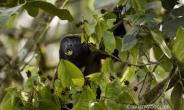 ECUADOREAN MANTLED HOWLER
