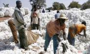 Burkina Faso's cotton output may cross 800,000 tons