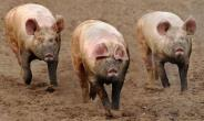 Assemblyman Calls For Relocation Of Pigs