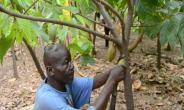 Defying The Odds: Farmer Cultivates 2-Acre Cocoa Farm In Upper East Region